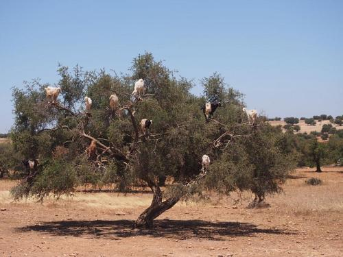 crazy-goats-on-tree