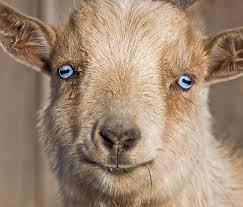 This goat is even CUTE, but those eyes...